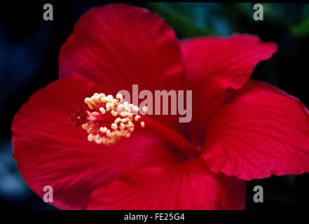 A close-up of a showy red Hibiscus flower with its prominent pistil and stamen. The hibiscus genus of flowering - Stock Photo