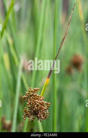 Soft rush (Juncus effusus) in flower. A common rush in the family Juncaceae in flower, growing on farmland in Somerset, - Stock Photo