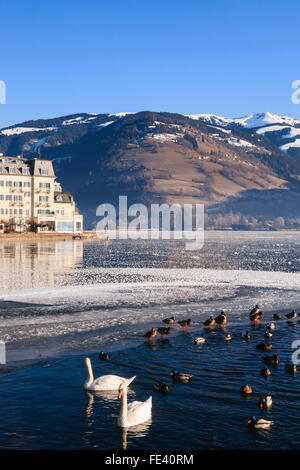 Frozen Zeller See lake with swans and wildfowl in foreground melted pool in winter. Zell am See, Austria, Europe. - Stock Photo