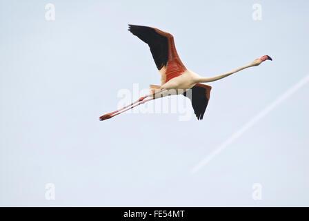 Europe, France, Provence, Camargue, Greater Flamingo, Phoenicopterus roseus. - Stock Photo