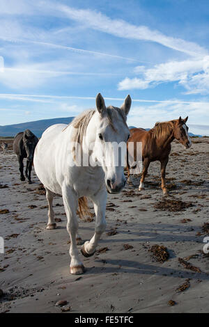 Horses on the beach, The Magherees, Dingle Peninsula, County Kerry, Ireland. - Stock Photo