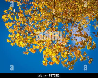 Plane tree, autumn leaves - France. - Stock Photo