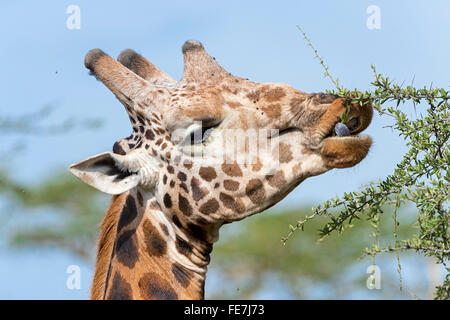 Rothschild's Giraffe (Giraffa camelopardalis rothschildi), portrait, feeding on an acacia tree, Lake Nakuru National - Stock Photo