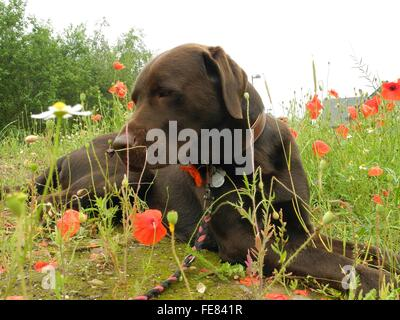 Chocolate Labrador Retriever On Poppy Field Against Sky - Stock Photo