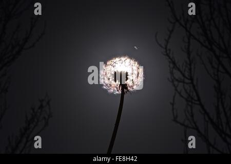 Low Angle View Of Back Lit Dandelion Against Sky - Stock Photo