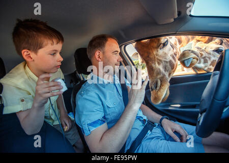 Giraffes put heads in car and waiting food from tourists - Stock Photo