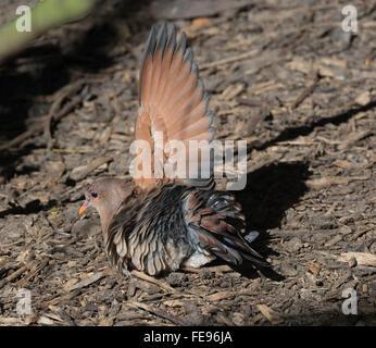 Emerald Ground-dove (Chalcophaps indica), Queensland, Australia - Stock Photo