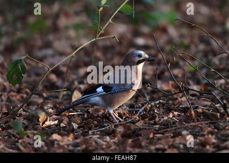 Eurasian Jay (Garrulus glandarius) - Stock Photo