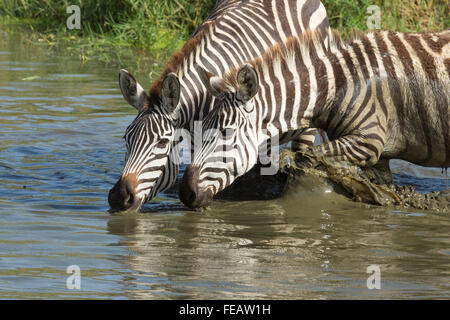 Two adult Plains Zebra drinking in the Serengeti National Park Tanzania - Stock Photo