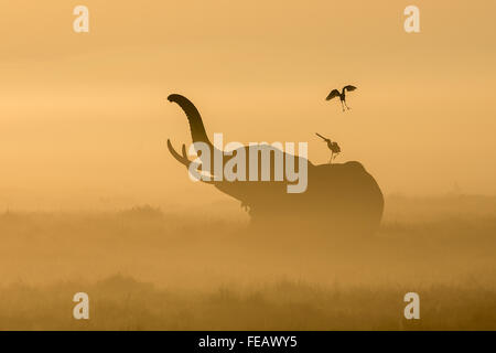 African Elephant in mist with cattle egrets on its back in early morning in Amboseli National Park Kenya - Stock Photo