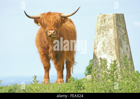 A long horned cow - Stock Photo