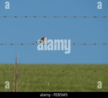 Robin Redbreast on barbed wire - Stock Photo