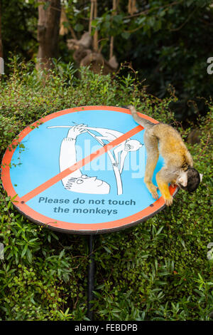 Squirrel money at a British Zoo closely inspects a 'Please do not touch the monkeys' sign for visitors - Stock Photo