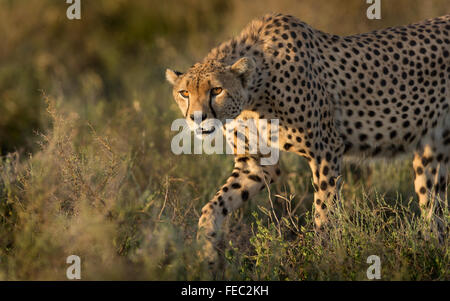 Male Adult African Cheetah Stalking in the Serengeti National Park Tanzania - Stock Photo