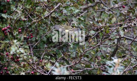 Pallas's Warbler, Phylloscopus, proregulus, - Stock Photo