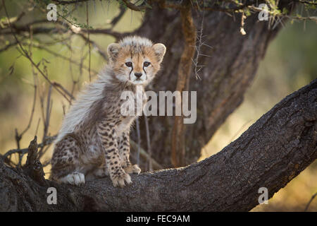 Baby African Cheetah sitting in the tree in the Serengeti National Park Tanzania Stock Photo