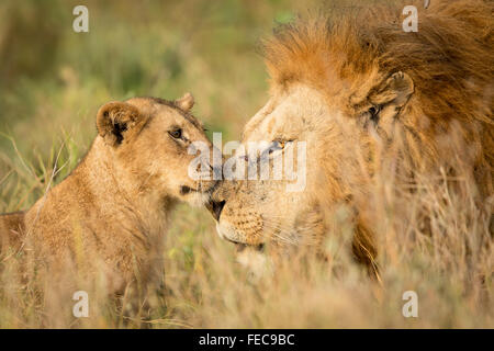 Adult Male African Lion and young cub in the Serengeti National Park Tanzania - Stock Photo