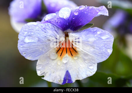 This is an image of a purple and white flower covered in rain drops - Stock Photo