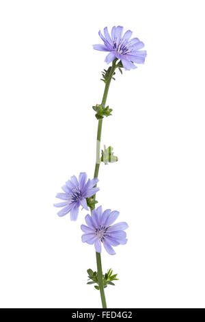Fresh blue flowering chicory flowers on white background - Stock Photo