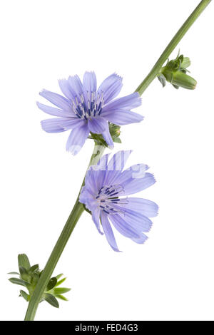 Fresh blue flowering chicory on white background - Stock Photo