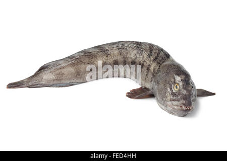 Fresh raw Atlantic wolf fish on white background - Stock Photo