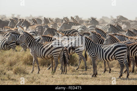 A herd of Plains Zebra in the Serengeti National Park in Tanzania - Stock Photo