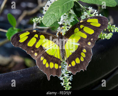 Closeup of Malachite Butterfly Siproeta stelenes on a flower at The Butterfly Estates in Fort Myers Florida - Stock Photo