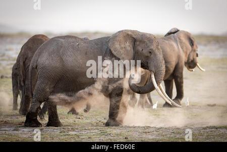 African Elephant female with large tusks dust bathing in Amboseli National Park Kenya - Stock Photo