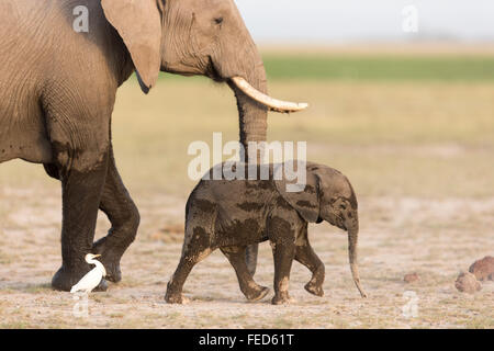 African Elephant Amboseli National Park Kenya - Stock Photo