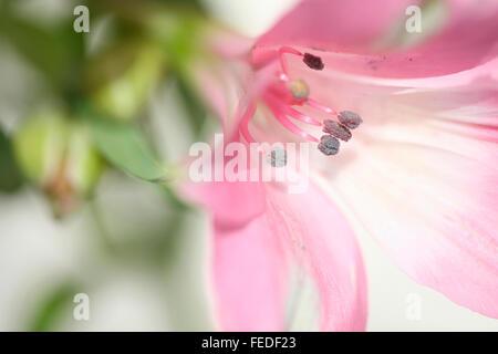 alstroemeria symbolizes friendship and devotion Jane Ann Butler Photograhy JABP1409 - Stock Photo