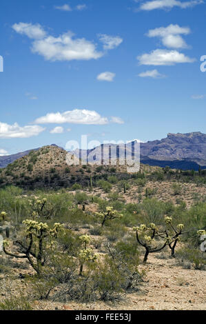 Teddybear cholla (Cylindropuntia bigelovii) cacti in front of the Ajo Mountain Range, Organ Pipe National Monument, - Stock Photo