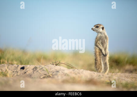 Meerkat on open veld in Botswana - Stock Photo