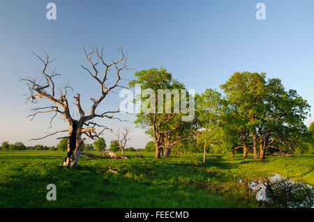 Oak trees and an oxbow lake in a wooded meadow (nature reserve Sita and Pededze floodplains) - Stock Photo