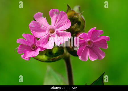 red campion Silene dioica flowers - Stock Photo