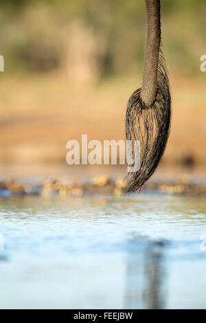 Tail of African Elephant - Stock Photo