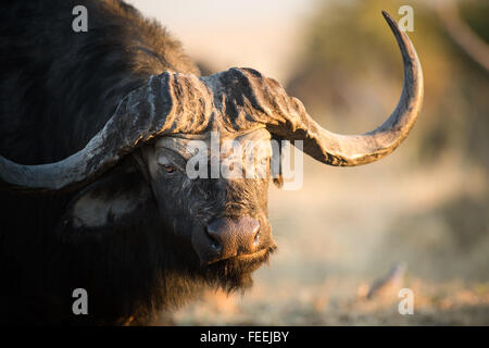 Buffalo in the bushveld - Stock Photo