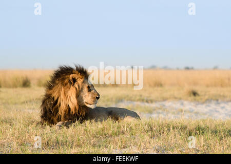 Male African Lion - Stock Photo