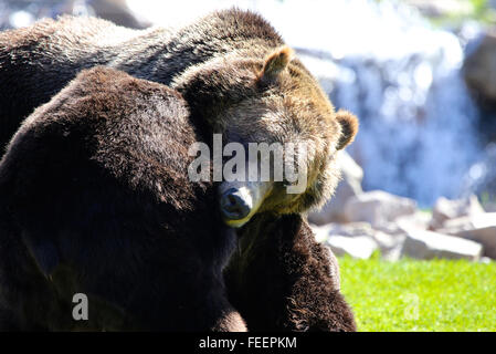 Two grizzly bears playing in field - Stock Photo