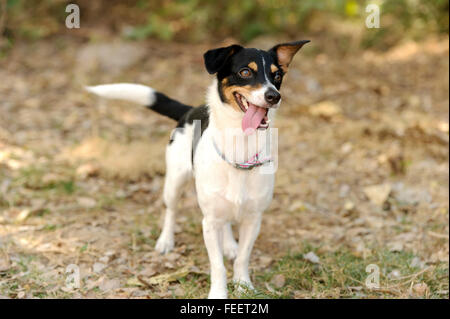 Silly dog is a cute happy little puppy dog outdoors looking funny and silly with googly eyes and his tongue hanging - Stock Photo