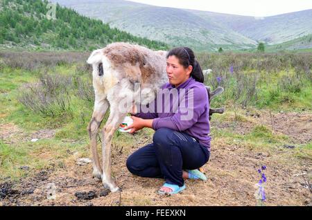 Duhkha (same as Tsaatan) woman milking her reindeer - Stock Photo