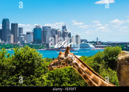 Sydney, Australia - January 11, 2014 : Girraffe at Taronga Zoo in Sydney with Harbour Bridge in background. - Stock Photo