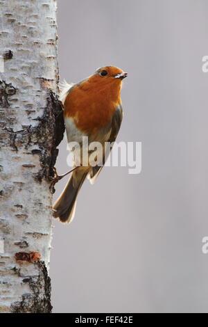 European robin (Erithacus rubecula) on a Silver Birch Tree - Stock Photo