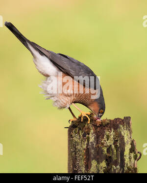 Wild Male Sparrowhawk (Accipiter nisus) feeding on prey item - Stock Photo