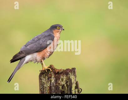 Wild Male Sparrowhawk (Accipiter nisus) perched on wooden gate post - Stock Photo