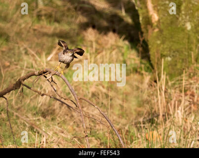 Wild Female Sparrowhawk (Accipiter nisus) taking off in pursuit of prey - Stock Photo