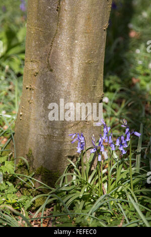 English Bluebells growing beneath a Beech tree in woodlands in the south west UK - Stock Photo