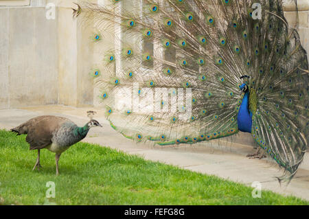 Peacock male and female mating courting on green grass lawn at Royal Baths Park in Warsaw, Poland - Stock Photo
