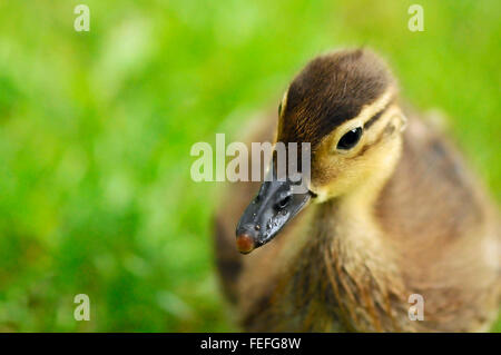 Mandarin duck duckling beak at Royal Baths Park in Warsaw, Poland. - Stock Photo