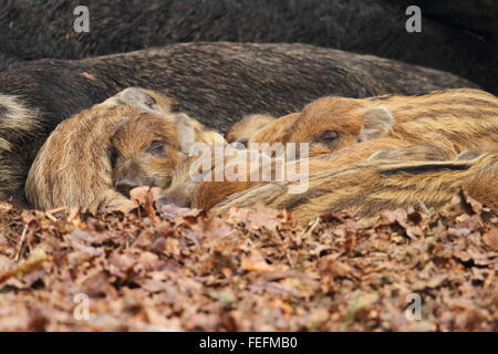Sleeping Wild Boar piglets (Sus scrofa), Forest of Dean UK - Stock Photo
