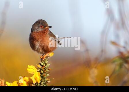 Dartford Warbler - Stock Photo